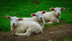 Unsere Schafe - Wahrzeichen Ostfrieslans